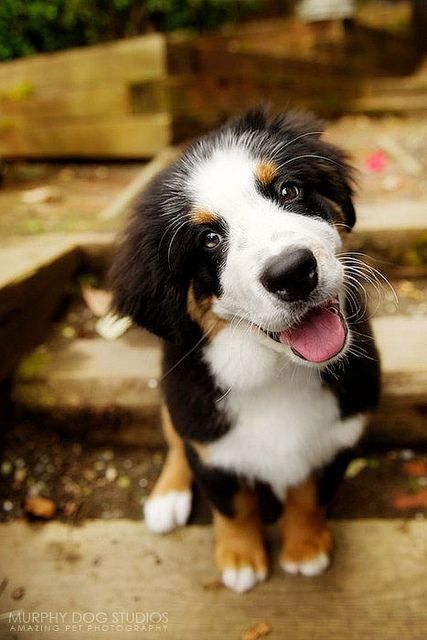 Wanna play?!?! Adorable Bernese Mountain Dog Puppy