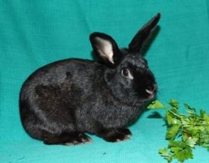 Elliott is an adoptable American Rabbit in Dayton, OH. Elliott was found living with some other rabbits left to fend for themselves outside. He's somewhat shy and reserved but would love for someone t...