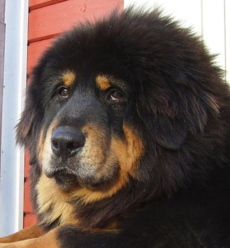 Tibetan Mastiff... love that sweet face.