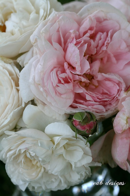 English Garden Roses. So beautiful.