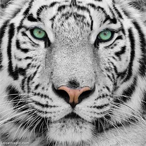 White Tiger photography animals beautiful pictures photos tiger wild animal photography ideas fierce photography pictures animal