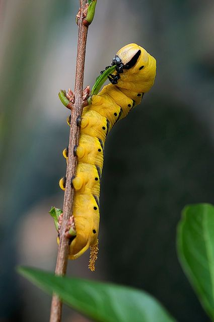 The caterpillar of a Deaths-head Hawkmoth -