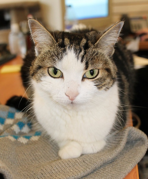 """Meet Posie. """"A Cat-Shaped Scarf""""?  This gal loves hopping up on your shoulder...Cat for adoption.  oasisanimalrescue.ca"""