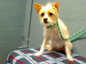 #CALIFORNIA ~ ID A4540019 #URGENT > LANCASTER SHELTER> CUTE #TERRIER is an #adoptable Terrier #Dog in Lancaster, CA. **WE NEED DEDICATED VOLUNTEERS TO POST & REMOVE PETS ON PETFINDER.   Lancaster Animal Care Center.   5210 W. Ave. I Lancaster, CA 93536   (661) 940-4191.   Hours: Monday – Thursday: 12:00 PM – 7:00 PM  Friday, Saturday, and Sunday: 10:00 AM – 5:00 PM  Closed Holidays