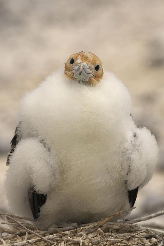 A juvenile great frigatebird, Fregata minor