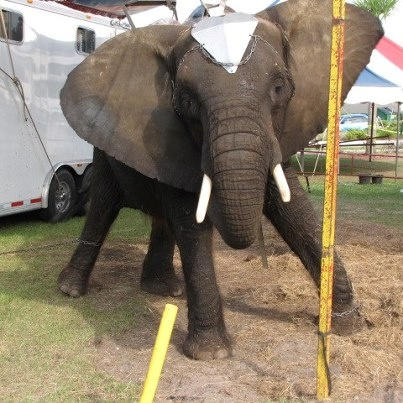 SPEAK OUT FOR NOSEY THE ELEPHANT!  Tell the USDA to FINALLY REMOVE  her from HELL ON EARTH at the USDA hearing at the end of March!  ENOUGH IS ENOUGH!    In Dec 2011 the USDA formally charged the circus & its owner Hugo Liebel with 36 violations of the Animal Welfare Act. An affidavit from a circus employee recounts Liebel's affinity for bullhooks & electric prod & details 1 incident in which Nosey was staked by all 4 legs & beaten with a bullhook by Liebel. PLZ Sign & Share!