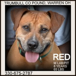 URGENT!!! SWEET SENIOR RED!!!!>>>WARREN, OHIO>>> PLEASE REPIN!!! Red SENIOR ALERT - URGENT!!! is an adoptable Labrador Retriever Dog in Warren, OH. RED and TOBY'S owners spilt up......neither could keep their dogs....so here they find themselves....homeless. ?Red i...