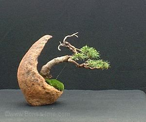 bonsai help