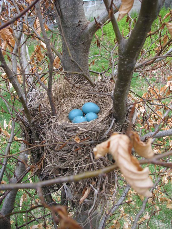 Robin's nest with eggs in a tree
