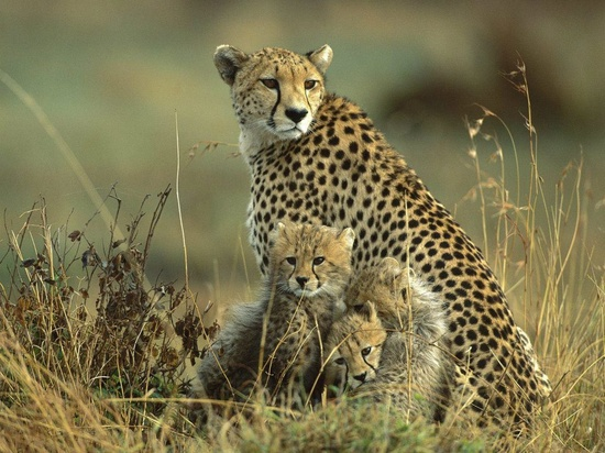 Cheetah mom with cubs ????