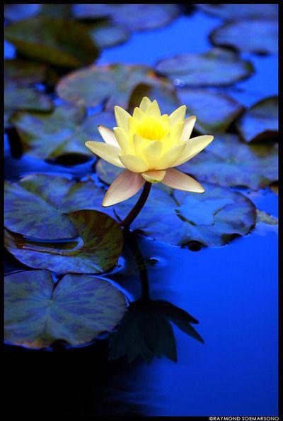Yellow Lotus Flower