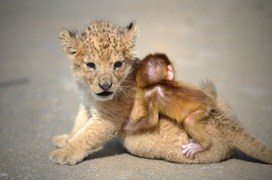 3 Excruciatingly Cute Pictures Of Baby Lion And Baby Monkey BFFs