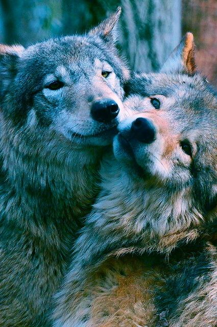 Is it just me or are these wolves the cutest thing ever
