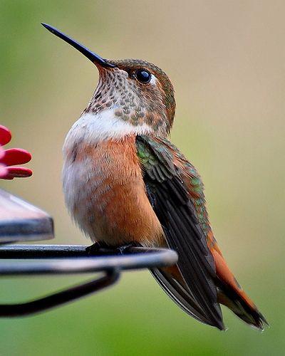 Male Rufous Hummingbird (Selasphorus rufus)