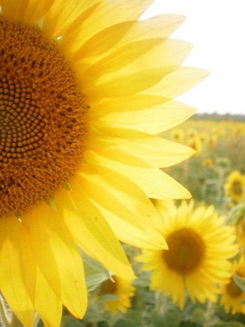 Fields of yellow sunflowers