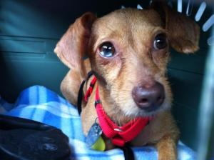 KENTUCKY ~ meet Willow an #adoptable #Dachshund #dog in Henderson. I'm a wonderful happy loving little girl. I was left in a park after having puppies but that is all behind me now. Im looking for a loving family. Im good with dogs, ignore  cats, spayed, UTD shots, & H-trained. I love sitting in your lap snuggling taking a long walks with you. If you're interested in #adopting me contact Pay It Forward Animal Welfare Network mailto:pifanimal@... ~ ph 270-724-0614 'cuz I'm ready to #adopt U ? !