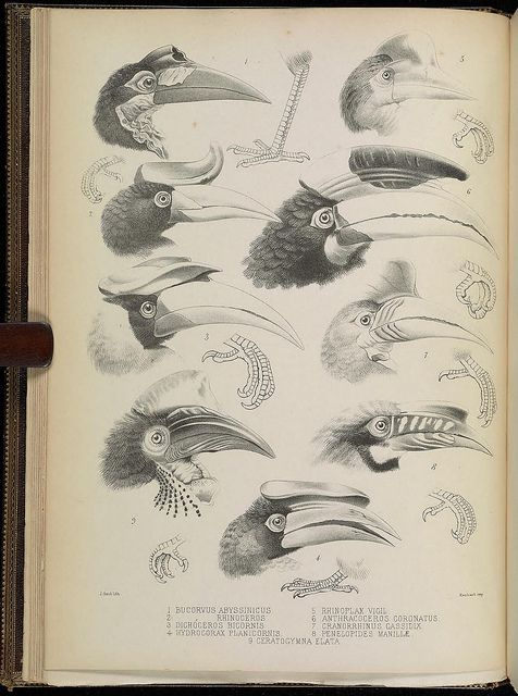 A monograph of the Bucerotidæ, or family of the hornbills..  [London]Published for the subscribers by the author [printed by Taylor and Francis]1882..