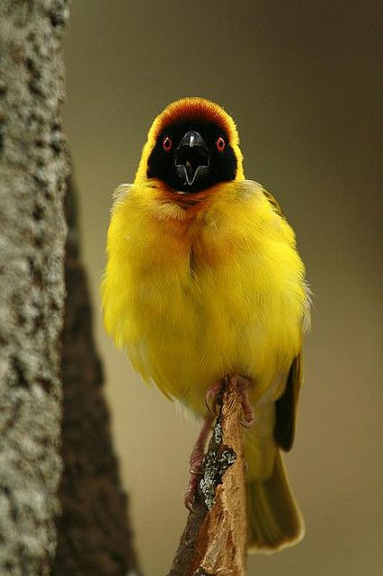 The Tanzanian Masked Weaver or Tanganyika Masked Weaver (Ploceus reichardi) is a species of bird in the weaver family, Ploceidae. It is found in and around swamps in south-west Tanzania and north-east Zambia.