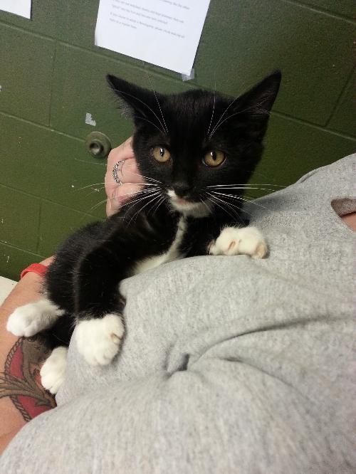 Lexi is a 3-month old, female tuxedo kitten. Harley and Olley are her big brothers. She is one of several black and white cats that are currently at the shelter right now. Lexi is playful, lively, and active. She also likes to be held and scratched...