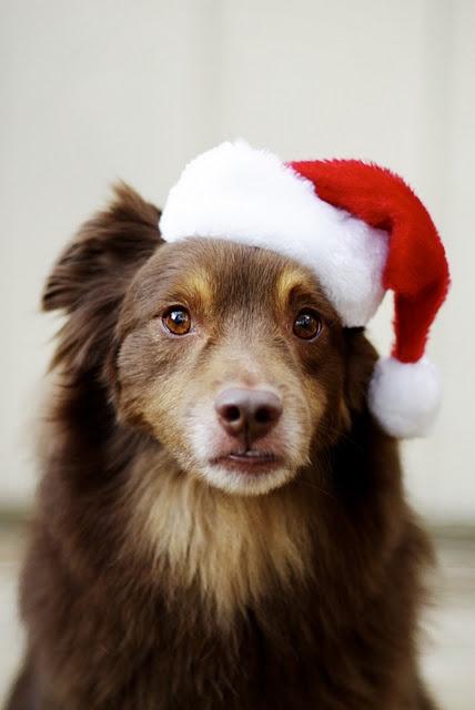 Santa Dog - Animal Photography