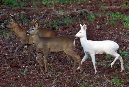 Albino Deer -foothills of Erzgebirge Mountains, eastern Germany; this snow-white deer with pink eyes and skin was seen by hunters. An albino deer is one in 100,000 according to by zoologists.