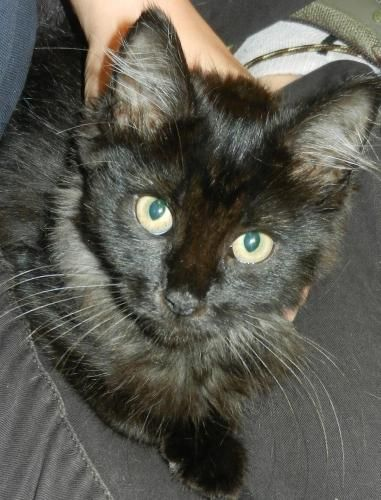 Hi I'm Mimi! I am a sweet little kitten looking for a home. I was found outside where it was really scary! Now I'm living in a nice warm house, but I still get scared from time to time. I am just not used to people loving me! With a little cuddle, I...