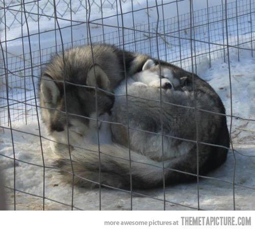 Cuddling Huskies…