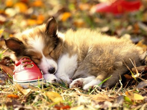 Sheltie puppy = too adorable. They look so sweet when they are sleeping!