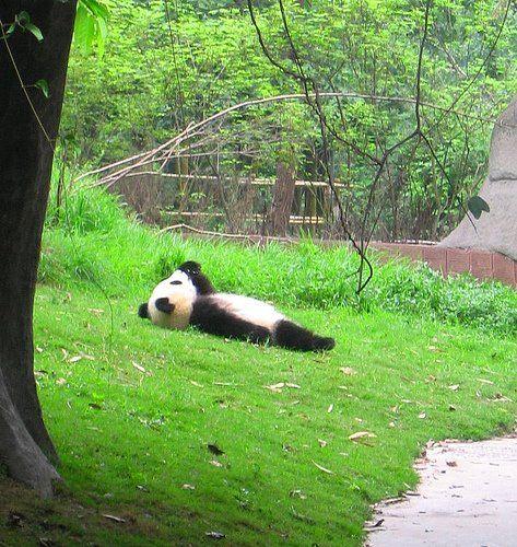 Cloud Watching Panda