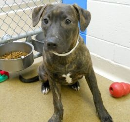 Tanya is an adoptable Pit Bull Terrier Dog in Anchorage, AK. A bit shy, but friendly and tolerant, this sweet girl was found as a stray. She looks to be just a few months old. She is very responsive t...