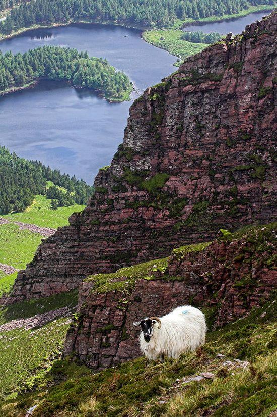 Kerry Mountain Sheep - Ireland