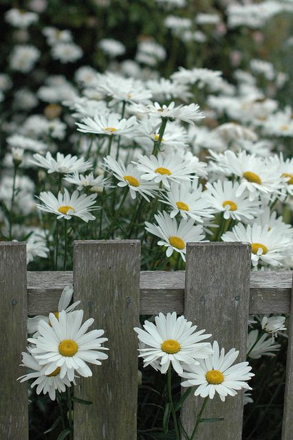 Shasta daisies along a picket fence.