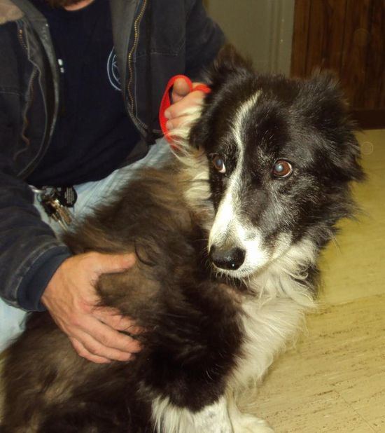 #ILLINOIS #URGENT ~ Koa 34 is a #senior Border Collie in need of a loving #adopter / #rescue --> We are receiving many dogs & puppies daily & each animal here will have a VERY LIMITED TIME. Please do not wait to contact us about any of these nice animals. JEFFERSON COUNTY ANIMAL CONTROL 107 E Perkins  #MtVernon IL 62864 mailto:jeffcoac@a... Ph 618-244-8024