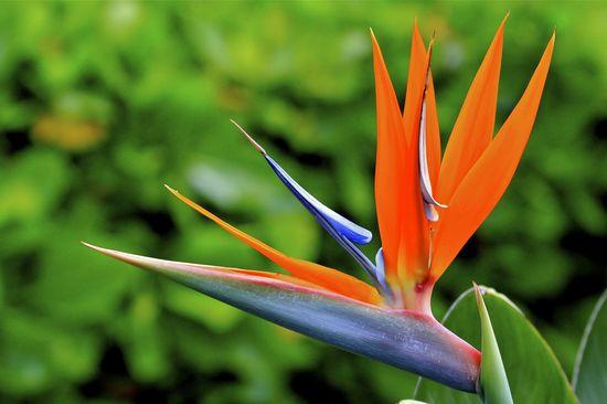 Bird of Paradise flower in Oahu ©KimReese