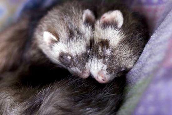 ferret friends