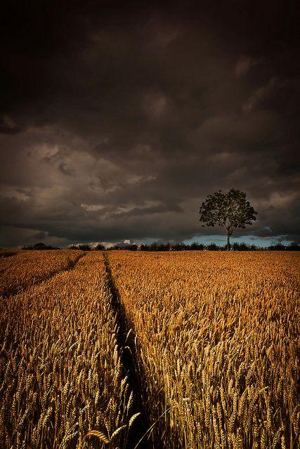 Barley field near Antrim Northern Ireland