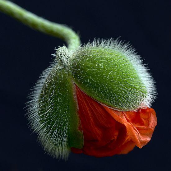 opening poppy
