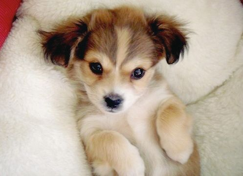 adorable, baby dog, beautiful, cute, dog, puppy, omg so want