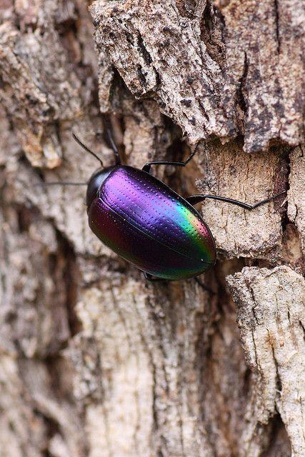 Metallic purple beetle
