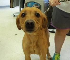 TOONS is an adoptable Labrador Retriever Dog in Sioux City, IA. They are moving and I can not go. Toons is housetrained and good with kids. He would love a new home. 65.5 lbs. All dog and puppy adopti...