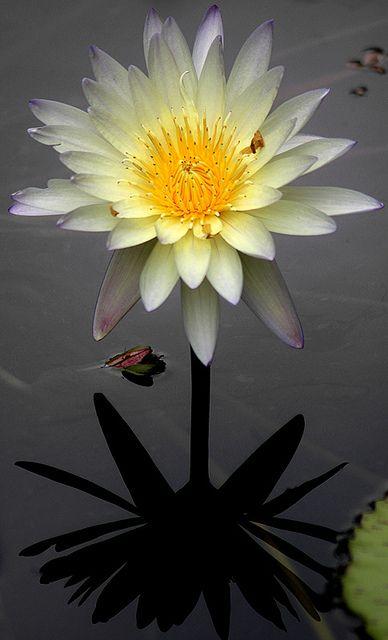 water lily flower by Bahman Farzad
