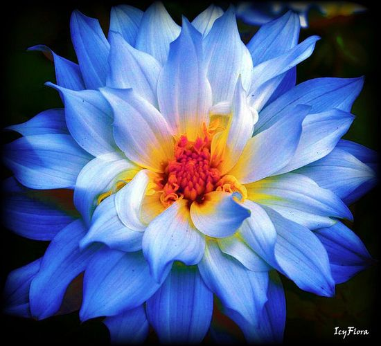 Amazing blue flower...