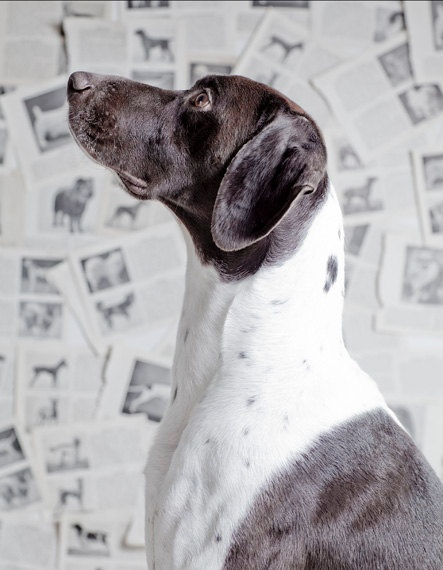Preston, a gorgeous German shorthair tossed on the freeway in Detroit and suffered a leg/ pelvis fracture and rescued by DDR. He is now living in Boston as a happy healthy dog.  See his video on............ NBC Dogs Youtube.mp4
