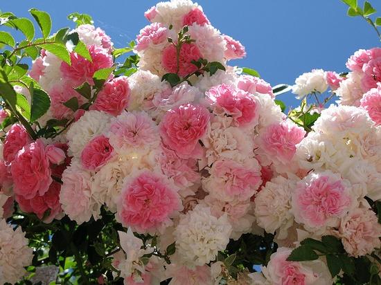Floribunda roses #pink #roses