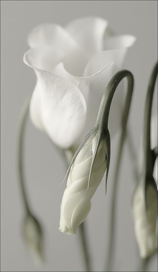 white softness