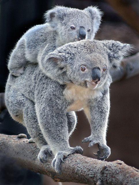 .Koalas