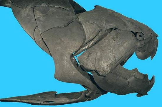 A photograph of the Dunkleosteus terrelli fossil skull. This ancient fish is estimated to have had a bite that exerted 11,000 pounds of force, the strongest bite of any fish ever. The bladed teeth focused the bite force into a small area - the fang tip, at an incredible force of possibly 80,000 pounds per square inch.