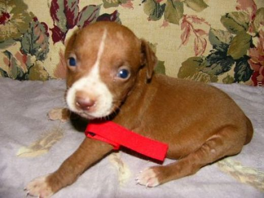 How anyone could want to fight or abuse a pit bull is beyond me...
