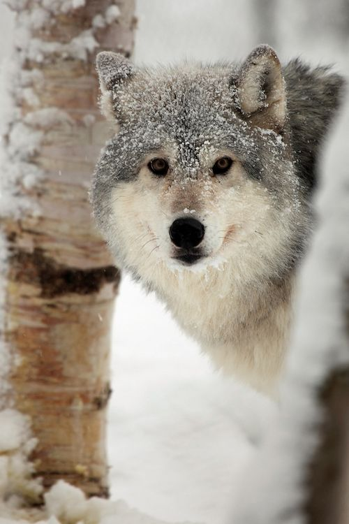 Grey Wolf (Canis Lupus)in snow  (by Megan Lorenz)