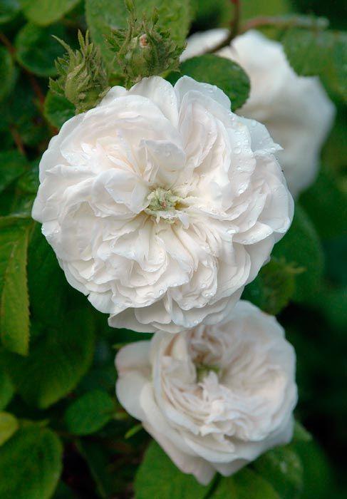 Damask Rose 'Madame Hardy'